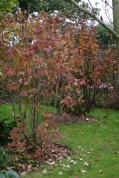 Viburnum and Physocarpus