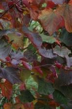 Cercis siliquastum 'Forest Pansy'