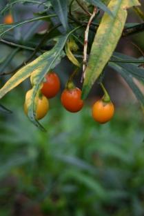 Solanum laciniata