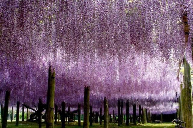 Kawachi Fuji Garden - Japón