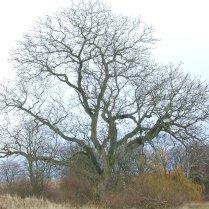 old walnut tree winter