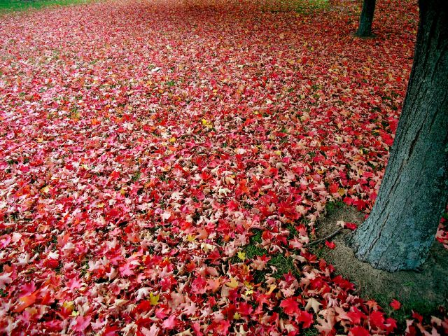 Red_autumn_leaves