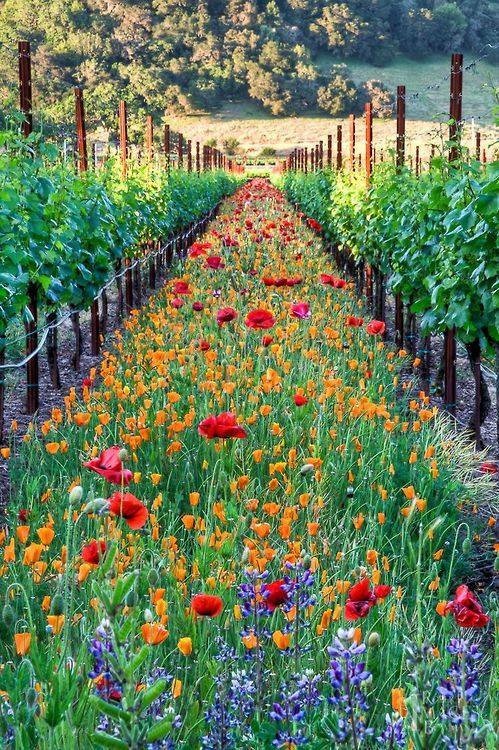 vines in california with pollinators kenwood winery