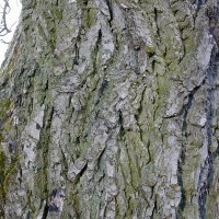 A -Z of Garden Trees: J is for Juglans