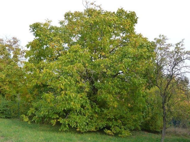 walnut tree in garden