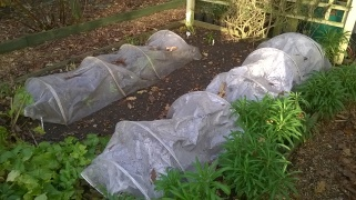 Broad beans coming up under cloches
