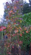 Liquidambar showing soem pleasing autumn colour