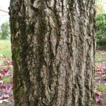 L. styraciflua bark