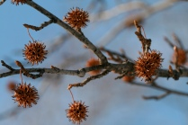 L. styraciflua fruit