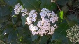 Viburnums in flower
