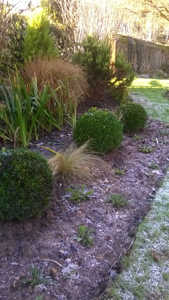 The replanted mixed border with Box Balls- with a frosty sheen!