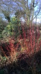 Winter colour- Dogwoods and Mahonia in the background