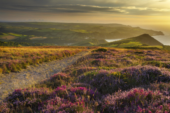 Common heather, Bell heather and Western gorse lining the coastal path on the Great Hangman with the Little Hangman, Devon