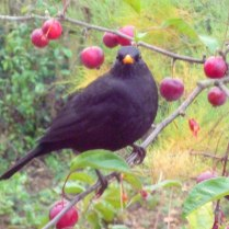 Blackbird and Crab apples