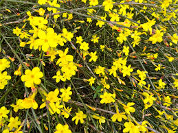 Winter Jasmine looking good