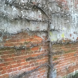 Some of the espalier fruit will need careful renovation