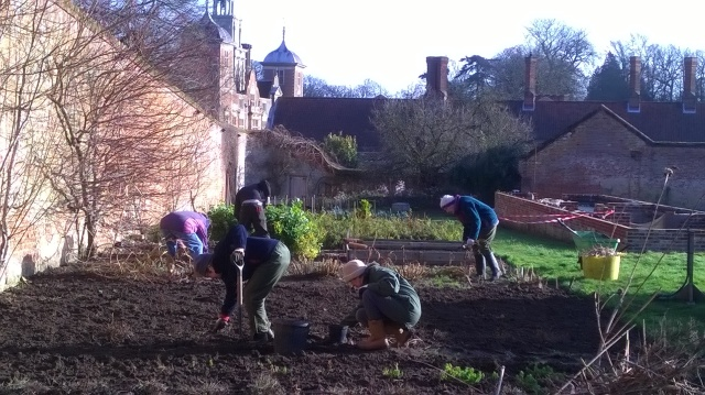 Volunteers tidying the kitchen garden beds at Blickling Hall