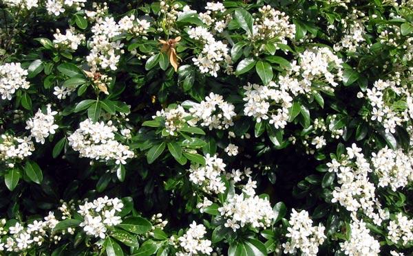choisya-shrub-white-flower