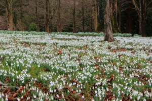 A sea of snowdrops at Colesbourne Park
