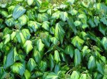 Ivy (Hedera colchicha 'Sulphur Heart')