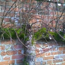 'Before'- Espalier Pear in need of a haircut...