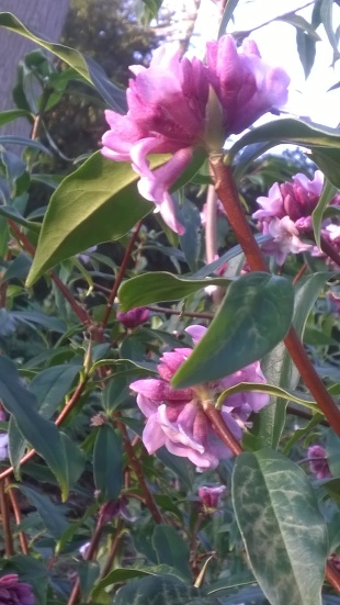 Daphne- beautiul flowers, wonderful fragrance...