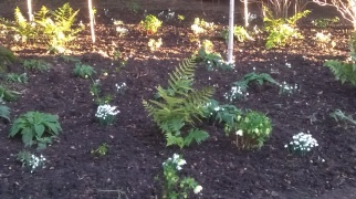 Snowdrops coming into their own...