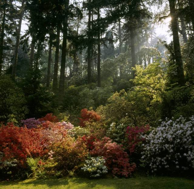 Azaleas at NT Bodnant- not long now...picture via National Trust