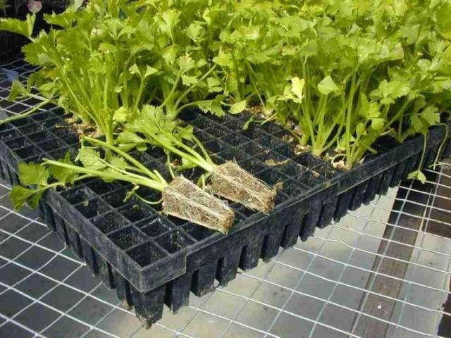 Celery plugs