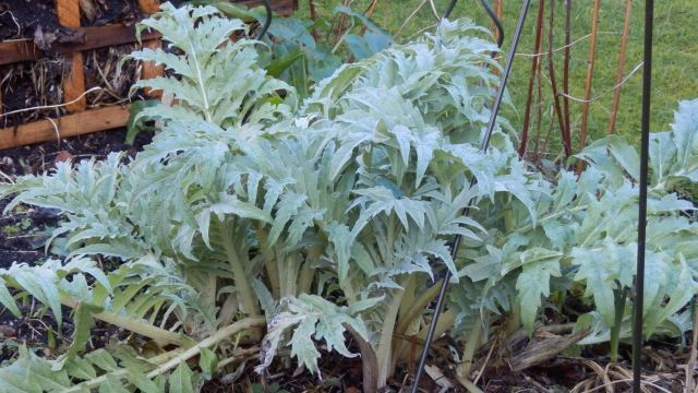 Artichokes- now's the time to plant 'slips' or suckers, says Evelyn