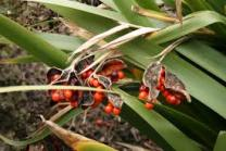 Iris foetidissima fruits