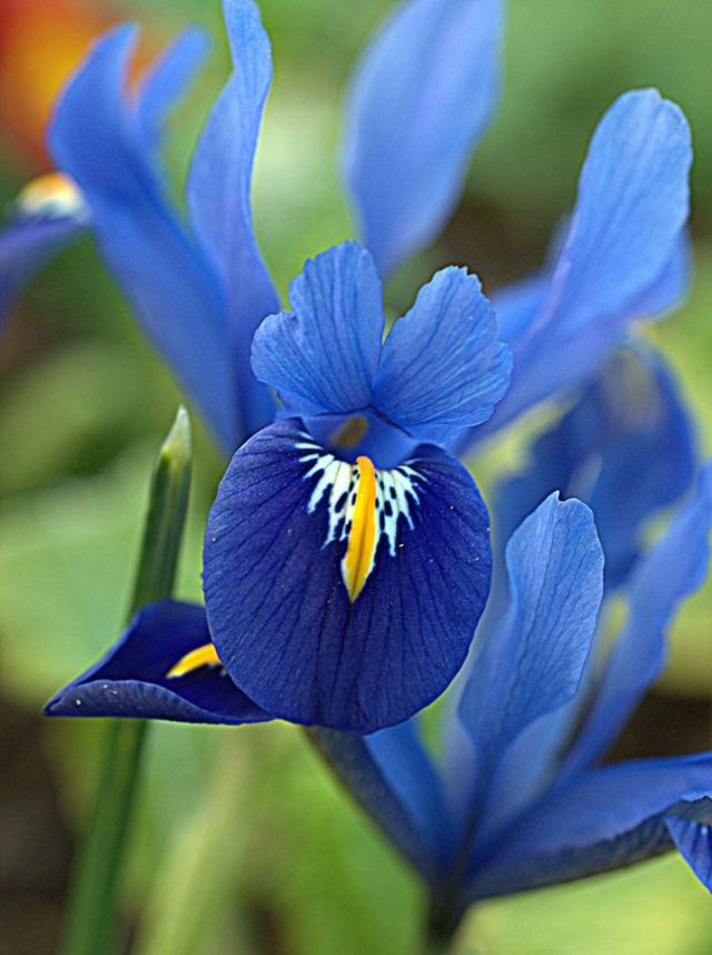 Blue Iris by Gina Gray