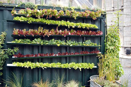 Grow lettuce- on a fence!