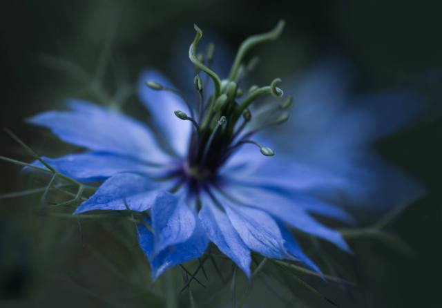 Nigella ('Love in a Mist') picture by Linda Bullock