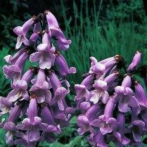 Pawlonia flowers