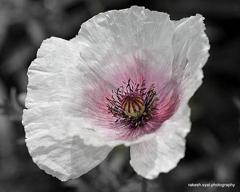 Poppy by Rakesh  Syal