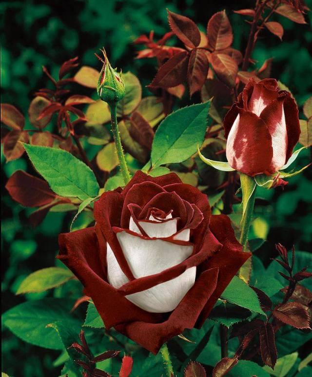 Rose, picture via Sociedad Argentina de Horticultura