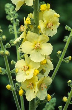 Verbascum 'Gainsborough'