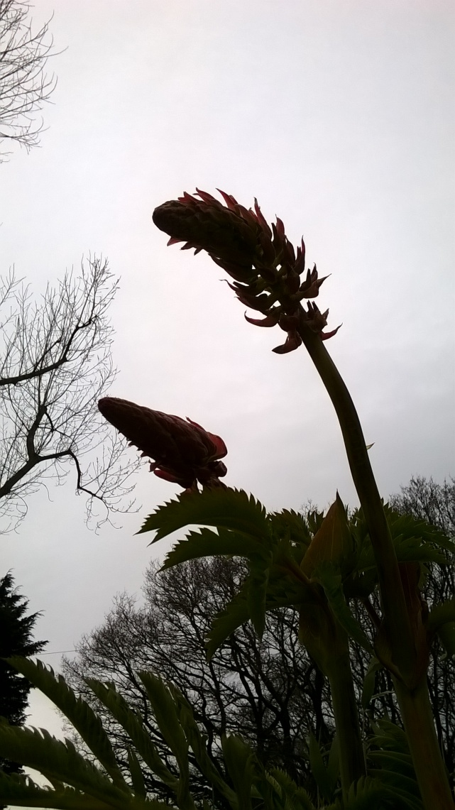 Meianthus flower heads- to flower or not to flower?
