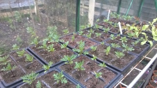 French Marigolds for companion planting in the Kitchen Garden
