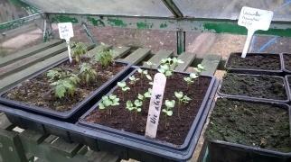 Seedlings underway in the greenhouse