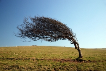 gardening_hints_windy_gardens_windswept_tree