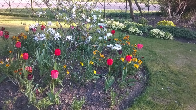 The circular bed in the Front garden- mixed tulips and wallflowers with a Star Magnolia at the centre