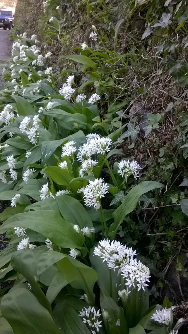 Wild Garlic at the foot of a Devon Hedge, Whitchurch