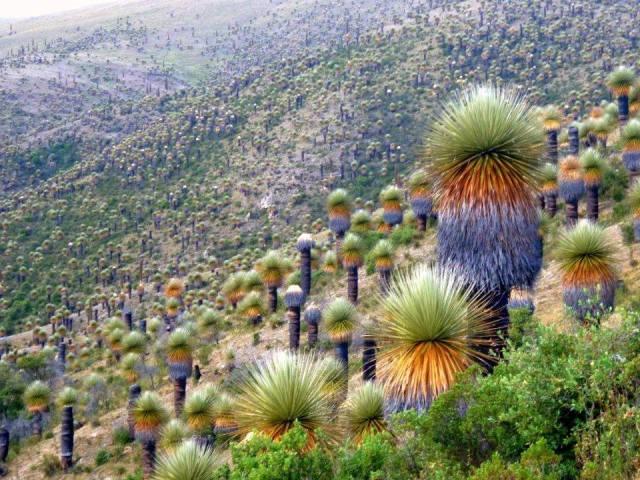 Bromeliad forest in Peru (Puya raimondii)