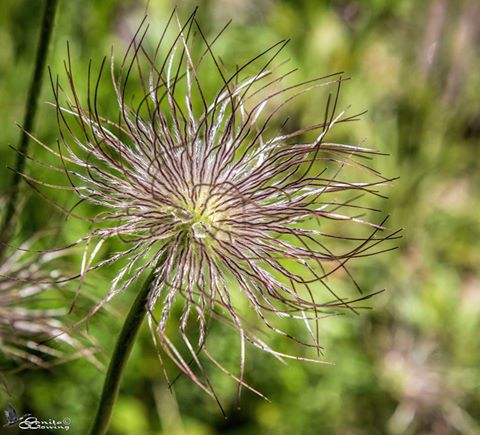 Pasque Flower seedhead by Anita Gowing
