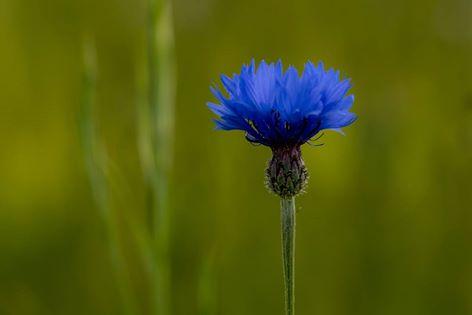 Cornflower by Sarah Walters
