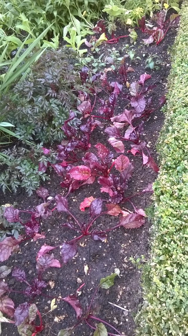 Beetroot 'Bull's Blood' causing a stir in the Double Borders