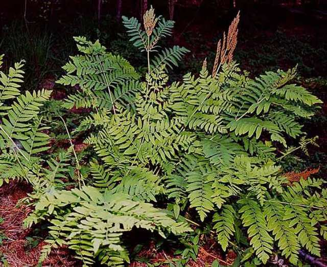 The Regal Fern