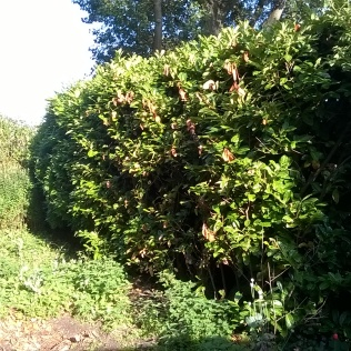 The Laurel hedge I'll be tackling in the autumn. The Ego will be a great help in getting out some of the larger bracnhes...